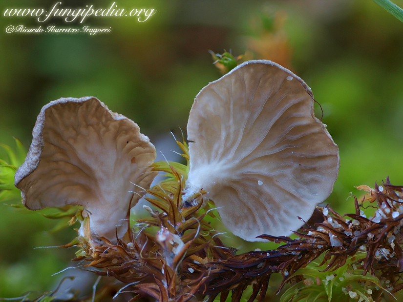 arrhenia_spathulata2.jpg