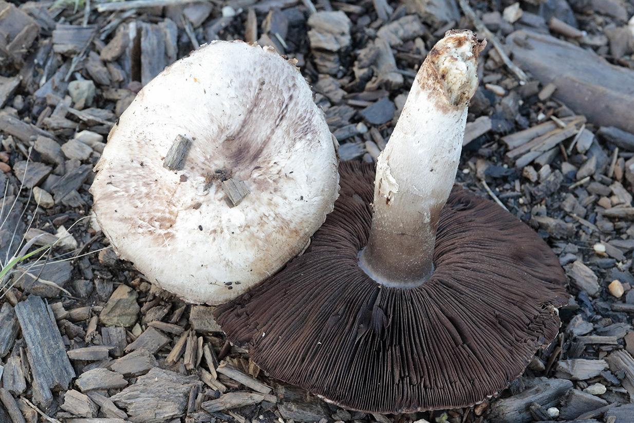 Agaricussilvaticus2020-12-12Crta.SanLorenzo-.jpg