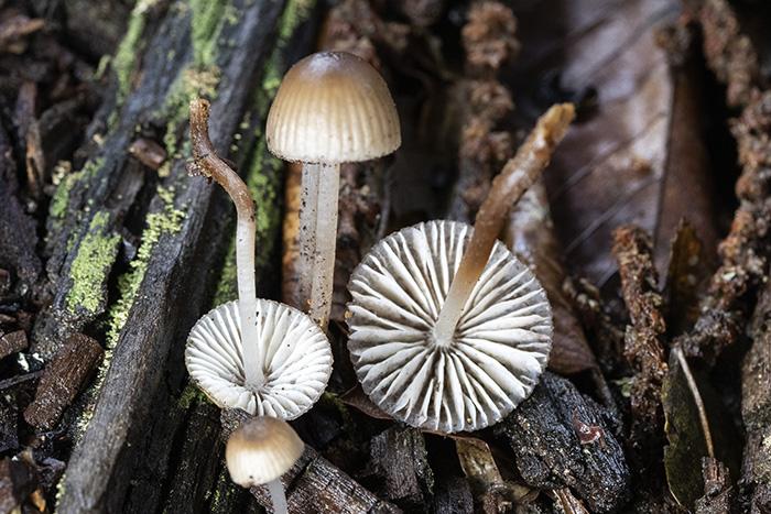Mycenainclinata.jpg