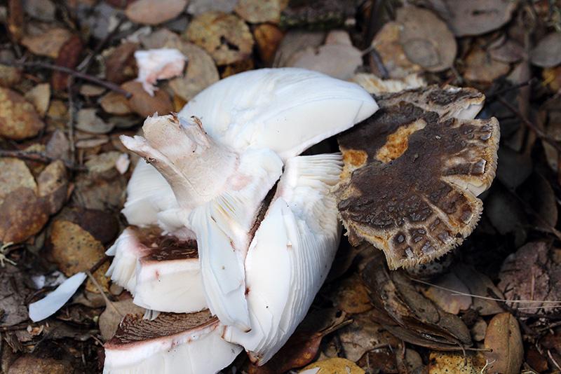 Tricholoma40-copia.jpg