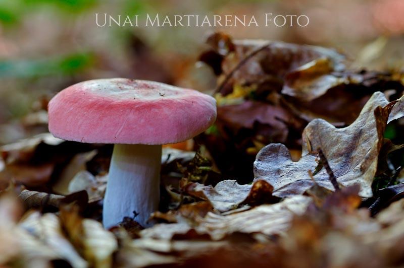 Russula_sp_002_2018-08-14.jpg