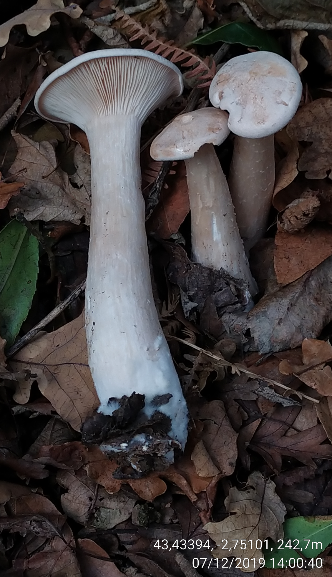 Clitocybegeotropa_20191207_140040.png