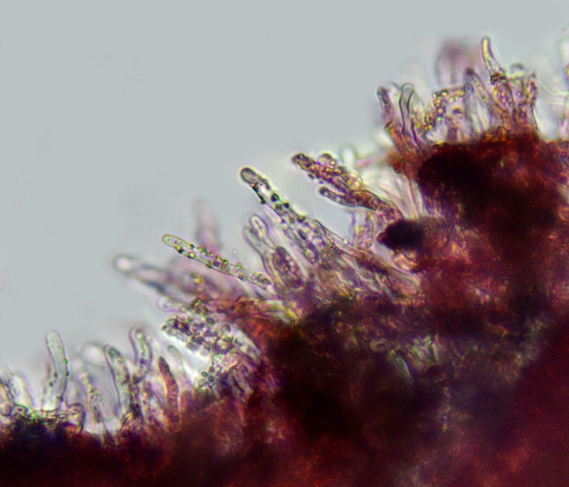 lamprocistidiosa400x.jpg