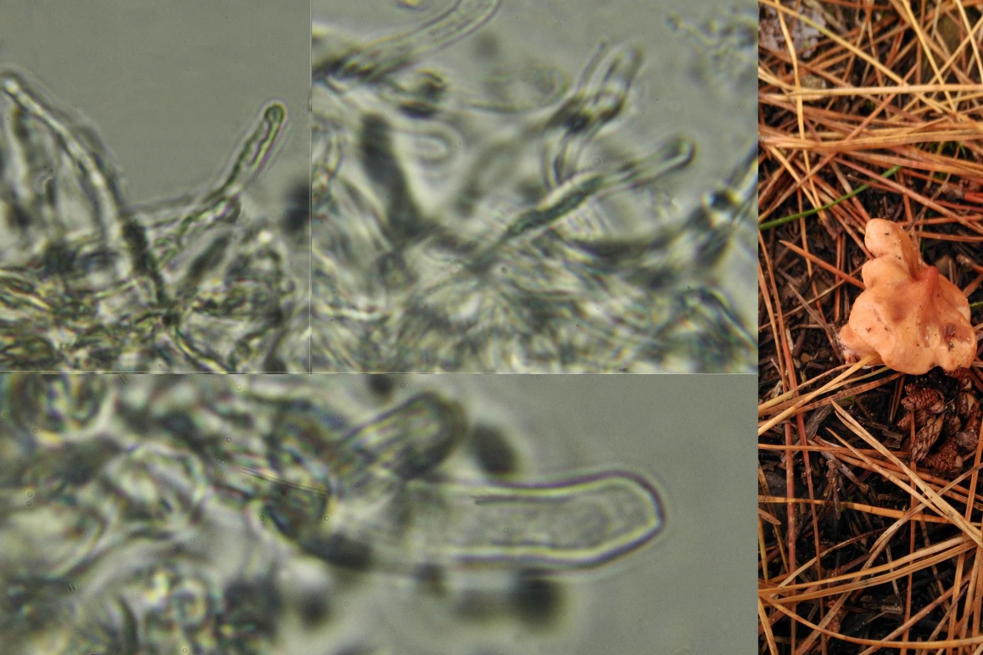 pileocistidios_2018-12-05.jpg