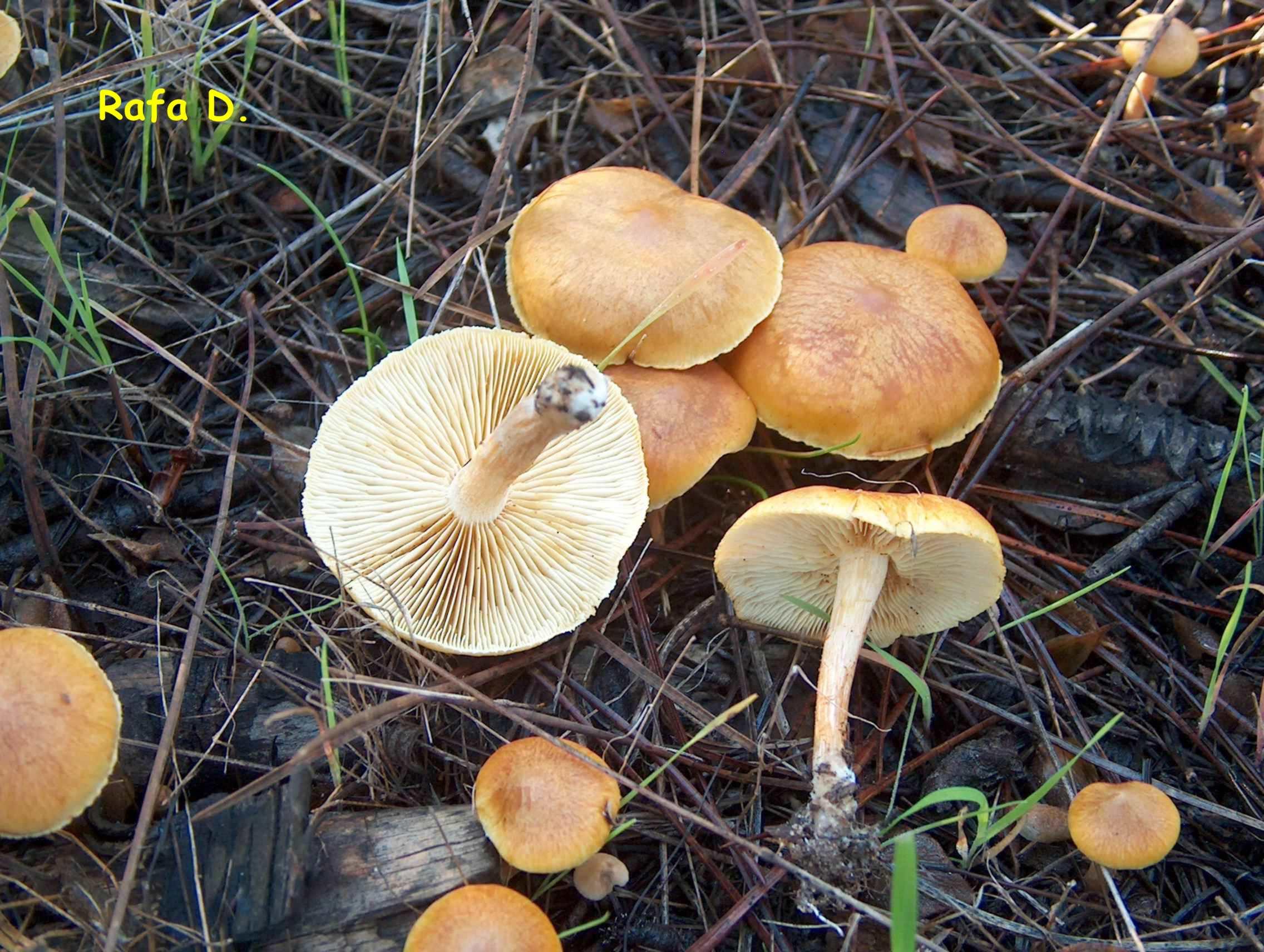 Collybia_Dryophila2a.jpg