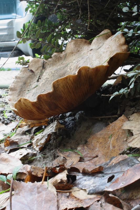 Paxillus_involutus_21_Fungi.JPG